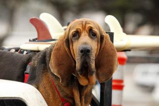 Bloodhound – Saiba tudo sobre esta raça
