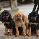 bloodhound-filhote