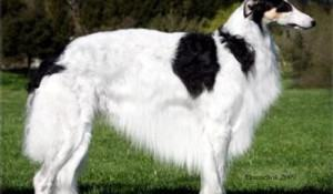 borzoi-cachorro