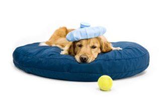 Botulismo em cães – Conheça esta doença