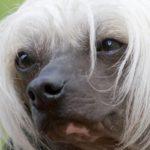 cao-de-crista-chines-cachorro