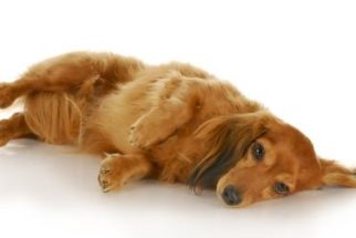 Epilepsia nos cães: o que é, sintomas e tratamento