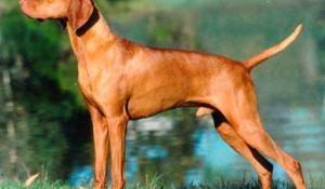 vizsla-cachorro