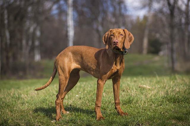 O vizsla é um cachorro adaptável e que recebe bem os comandos