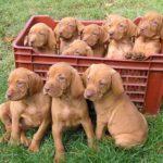 vizsla-puppies