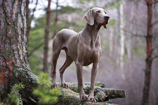 O weimaraner é uma raça de cachorro atlética, alegre e carinhosa