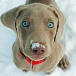 weimaraner-puppie