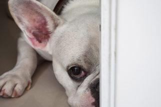 Cachorro com medo de trovão – O que fazer?