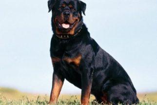 Cães de guarda – Principais raças para proteção
