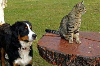 Como fazer os cães gostarem dos gatos?