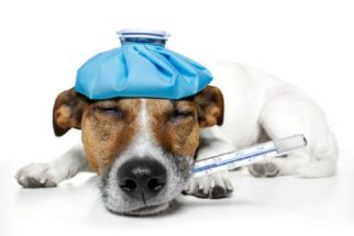 Febre nos cachorros – Como reconhecer?