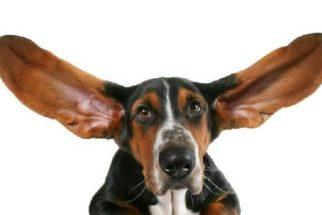 Surdez – Como saber se meu cachorro tem?