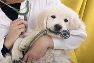 A primeira consulta do filhote ao veterinário