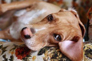 Cinomose em cães