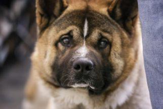 Elkhound Norueguês – Saiba tudo sobre esta raça