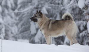 elkhound-noruegues-cachorro