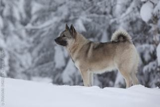 Elkhound Norueguês