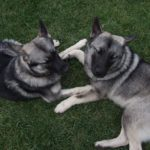 elkhound-noruegues-caes