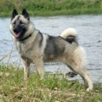 elkhound-noruegues-caracteristicas-saude-e-cuidados