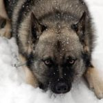 elkhound-noruegues-neve