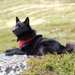 elkhound-noruegues-preto-cachorro