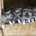 elkhound-noruegues-puppies