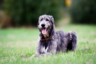 Galgo escocês (deerhound) – Saiba tudo sobre esta raça