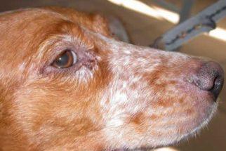 Leishmaniose em cães
