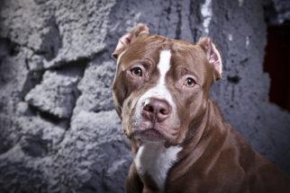 Staffordshire Bull Terrier – Saiba tudo sobre esta raça