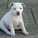 staffordshire-bull-terrier