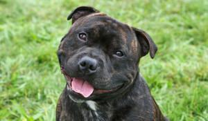 staffordshire-bull-terrier-fofo