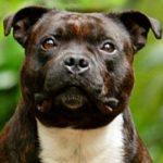 staffordshire-bull-terrier-marrom