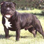 staffordshire-bull-terrier-preto