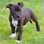 staffordshire-bull-terrier-puppie