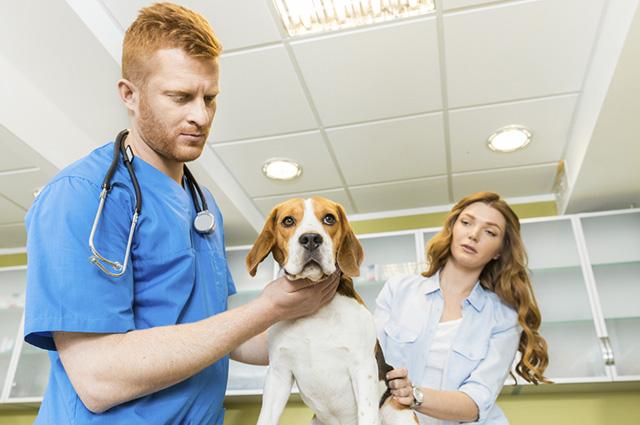 Apesar de poder acometer qualquer cachorro, algumas raças são mais propensas ao colapso de traqueia