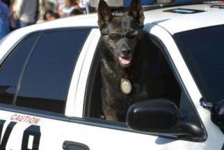 Cães policiais – História e como um cão se torna policial