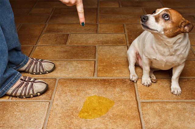 Saber ensinar o cão sobre onde fazer xixi corretamente é essencial