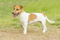 Jack Russell Terrier – Saiba tudo sobre esta raça