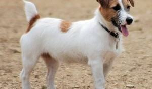 jack-russell-terrier-cachorro