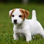 jack-russell-terrier-filhote