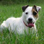jack-russell-terrier-grama