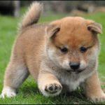 shiba-inu-puppie