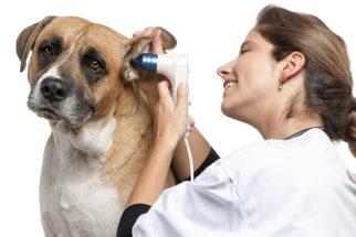Otite em cães – Cuidados e tratamentos