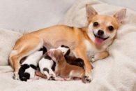Cuidados essenciais durante gravidez da cadela