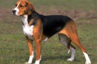 Foxhound inglês