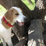 foxhound-ingles