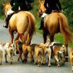 foxhound-ingles-caca