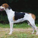foxhound-ingles-cachorro