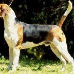 foxhound-ingles-cuidados-e-caracteristicas-fisicas-e-psicologicas