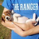 foxhound-ingles-filhote